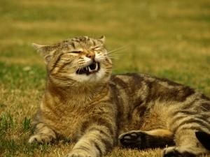 Котешка хрема