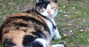 Бременна котка