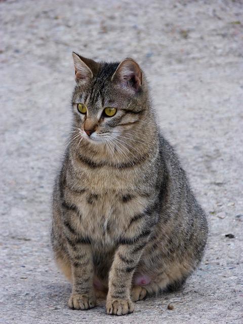 Как да познаем бременната котка?