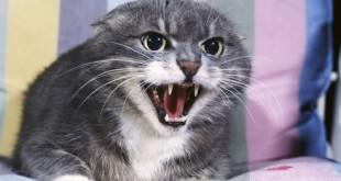 агересивна котка