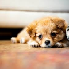 Грижи за малкото куче