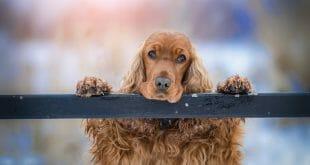 куче порода кокер шпаньол