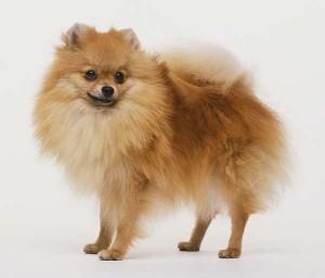 Кучета-джуджета