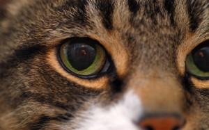 Грижи за очите на котката