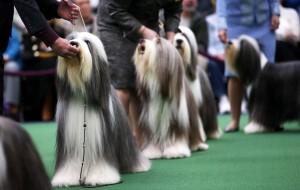 Представяне на кучето на изложба