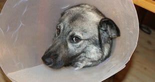 Кучешки болести