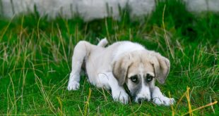 Хидроцефалия при куче