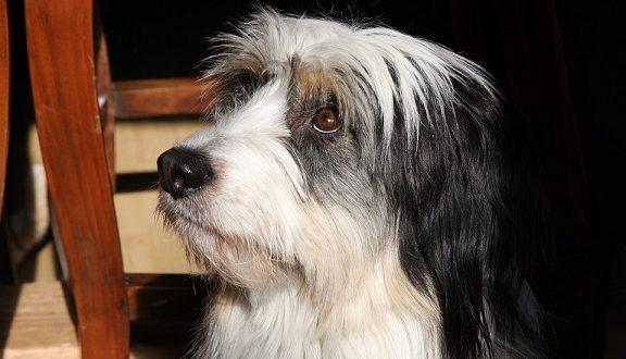 Куче за тръсене на трюфел