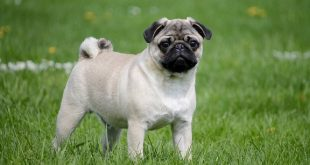 Куче порода Мопс