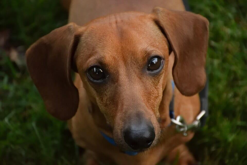 куче порода дакел
