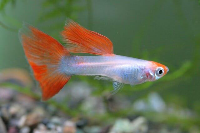 Декоративна рибка за аквариум - гупа