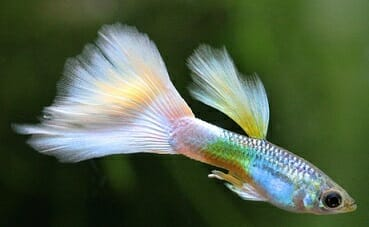 Рибка за аквариум - гупи