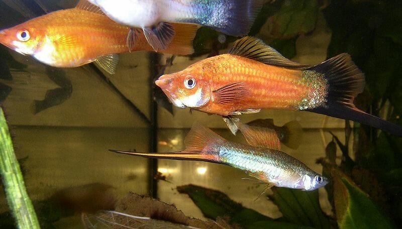 Аквариумна рибка Хелер