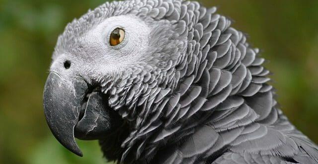 папагал жако говорещ